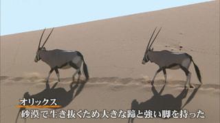 砂の大地に適応/オリックス(ナミビア)