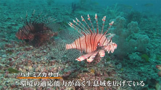 毒で勢力拡大/ハナミノカサゴ(高知県)