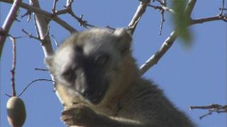 生存のコツは偏食なし/アカビタイチャイロキツネザル(マダガスカル)