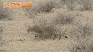 アフリカヤマネコ(ナミビア)